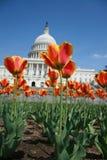 Oranje Tulpen in de lente van gelijkstroom Stock Afbeeldingen