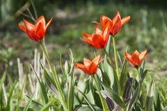 Oranje tulpen op een bed Royalty-vrije Stock Afbeelding