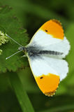 Oranje uiteindevlinder Stock Fotografie