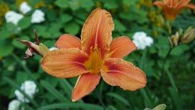 Oranje van bulbiferumdetails van installatielilium het close-uphd lengte - Kruidachtige de bloemvideo van de tijgerlelie stock videobeelden