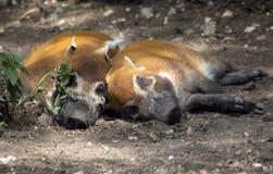 Oranje varkens met zwarte snuit en zwarte benen stock afbeeldingen