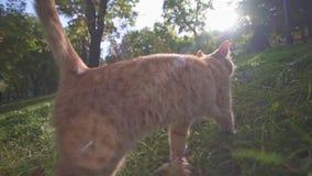 Oranje verdwaalde kat die in stadspark lopen Odessa Ukraine die grondgebied onderzoeken en voor voedsel op een de zomer zonnige d stock videobeelden