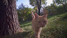 Oranje verdwaalde kat in Odessa Ukraine-stadspark die grondgebied onderzoeken en voor voedsel mauwen stock videobeelden