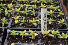 Oranje Vinca Seedlings-niet-bloeit royalty-vrije stock afbeelding