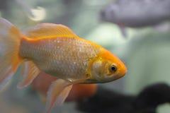 Oranje vissen Royalty-vrije Stock Foto