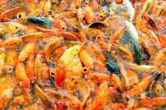 Oranje vissen Stock Foto