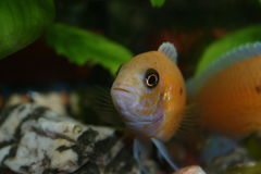 Oranje Vissen Stock Fotografie
