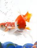 Oranje vissen stock foto's