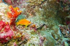 Oranje vissen bij koraalrif Stock Afbeelding