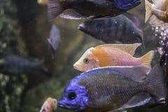 Oranje vissen in een aquarium Stock Afbeelding