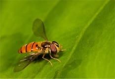 Oranje vlieg op blad Stock Afbeeldingen