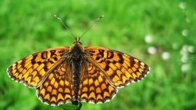 Oranje vlinder Royalty-vrije Stock Foto's