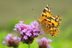 Oranje vlinder Royalty-vrije Stock Afbeeldingen