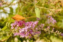 Oranje vlinder Stock Foto's