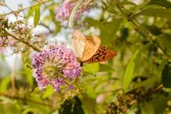 Oranje vlinder Stock Afbeelding