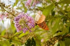 Oranje vlinder Stock Foto