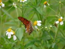 Oranje Vlinder op bloem in het Lake District, Florida stock foto