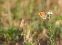 Oranje vlinder op de witte bloem stock afbeeldingen