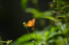 Oranje vlinder op een bloem Royalty-vrije Stock Afbeeldingen