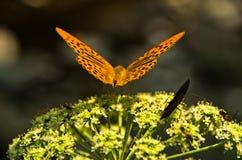 Oranje vlinder op een installatie met kleine witte bloemen bij bos Royalty-vrije Stock Fotografie