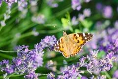 Oranje vlinder op lavendelbloem Stock Foto's