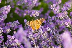 Oranje vlinder op lavendelbloem Royalty-vrije Stock Afbeelding