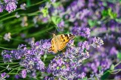 Oranje vlinder op lavendelbloem Stock Foto