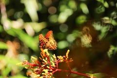 Oranje vlinder op rode en gele maretakbloemen Stock Afbeelding