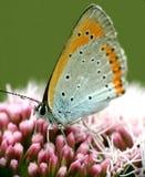 Oranje vlindermacro Stock Fotografie