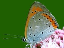 Oranje vlindermacro Royalty-vrije Stock Afbeeldingen