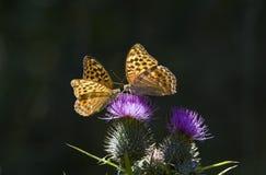 Oranje Vlinders Stock Foto
