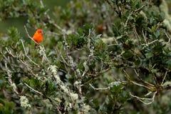 Oranje vogel in groene tropische vegetatie Tanager van Costa Rica Het wildscène van aard Oranje vogel vlam-Gekleurde Tanager, Pi Royalty-vrije Stock Foto