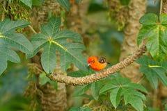 Oranje vogel vlam-Gekleurde Tanager, Piranga-bidentata, Boca Tapad, Costa Rica Mooie vogel in de aardhabitat Dier in Royalty-vrije Stock Afbeeldingen