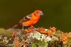 Oranje vogel vlam-Gekleurde Tanager, Piranga-bidentata, Savegre, Costa Rica Vogelzitting in de donkere bosvogelobservatie in Zuid Royalty-vrije Stock Afbeeldingen