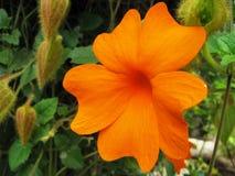 Oranje wilde bloem Stock Fotografie