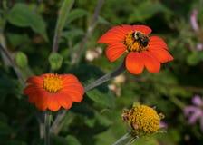 Oranje wilde bloem met hommel stock foto