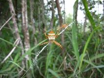 Oranje-wit gestreept paar spinnen in hun Web in Swasiland Royalty-vrije Stock Foto
