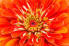 Oranje Zinnia Royalty-vrije Stock Foto
