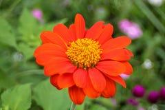 Oranje Zinnia Stock Foto's