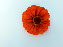 Oranje Zinnia Royalty-vrije Stock Foto's