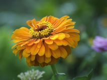 Oranje Zinnia die, sluit omhoog foto met details bloeien stock foto's