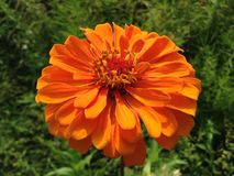Oranje Zinnia Plant Flower Blossoming stock fotografie