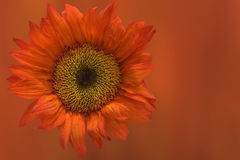 Oranje Zonnebloem op oranje achtergrond royalty-vrije stock foto's