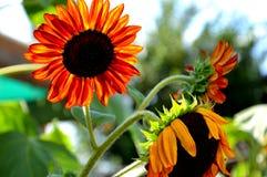 Oranje zonnebloemen Royalty-vrije Stock Fotografie