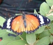Oranje zwart-witte vlinder stock afbeelding