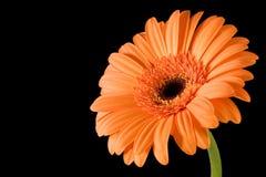Oranje Zwarte Achtergrond Gerbera Stock Fotografie