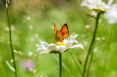 Oranje zwarte bevlekte vlinder op de kamille Royalty-vrije Stock Foto's
