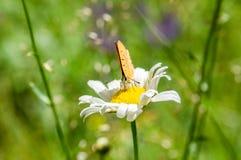 Oranje zwarte bevlekte vlinder op de kamille Royalty-vrije Stock Afbeeldingen