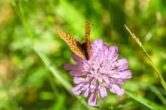 Oranje zwarte bevlekte vlinder op de roze bloem Royalty-vrije Stock Foto's