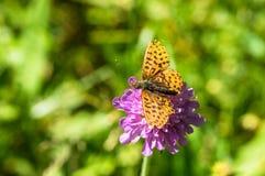 Oranje zwarte bevlekte vlinder op de roze bloem Stock Afbeeldingen